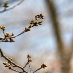 桜はまだつぼみです。
