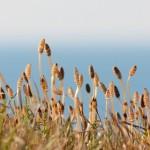 土筆、日本海に臨む! – 海浜自然公園