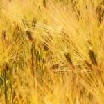 麦秋 – 初夏の訪れを感じる季節