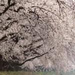 見れば納得!日本一の桜のトンネル